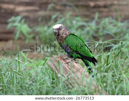 Hawk-headed Parrot also known as Red-fan Parrot - stock photo