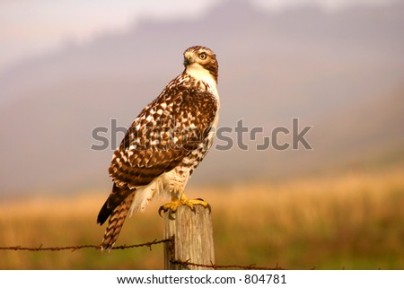 Hawk hunting at Northern California coastal region - stock photo