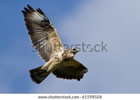 Hawk in the blue Sky - stock photo