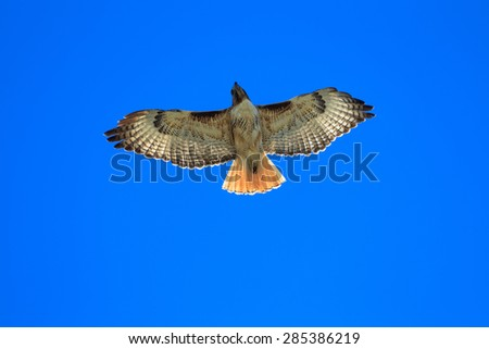 Hawk In The Sky - stock photo