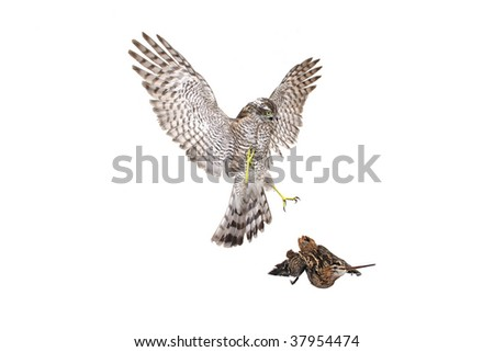 Hawk. Isolated on white background. - stock photo