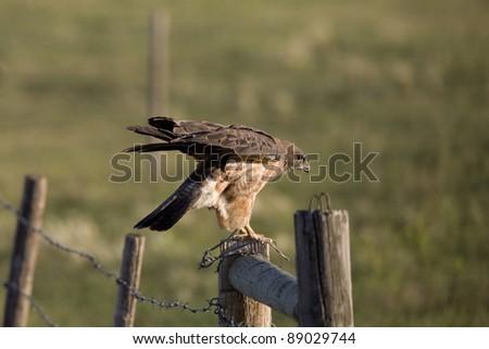 Hawk landing on fence post - stock photo