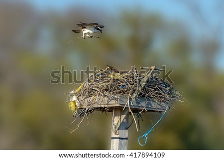 Hawk landing with the branch to the nest - stock photo