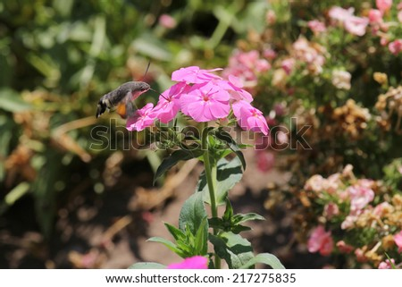 hawk moth collects nectar with bright pink flowers - stock photo