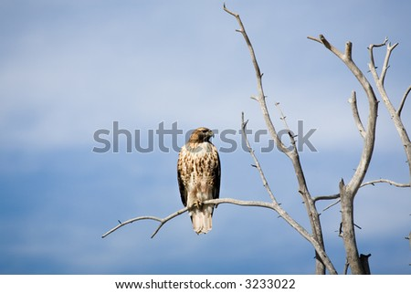 hawk on a bare tree, red-tailed hawk in yellowstone national park, wyoming. buteo jamaicensis.