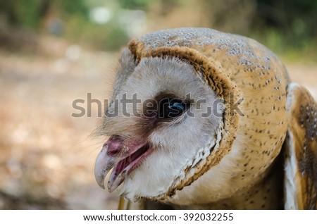Hawk Owl Night - stock photo