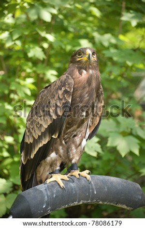 Hawk perched in captivity