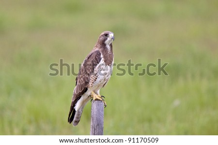Hawk perched on fence post - stock photo