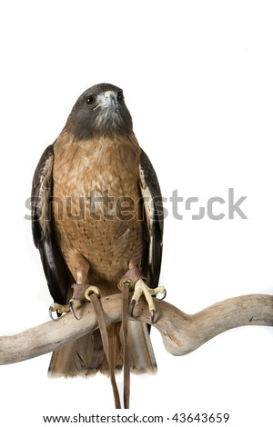 Hawk, Red Tail, Buteo jamaicensis, North America, Canada, Alaska, Isolated on white