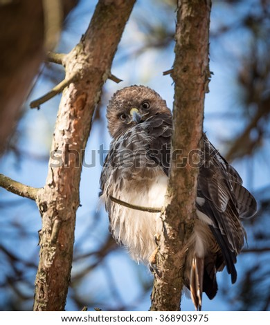 Hawk spotted on a tree  - stock photo