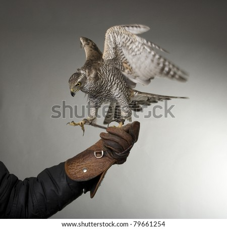 hawk spreading wings. see more on my page - stock photo