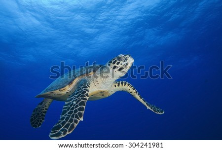HAWKBILL SEA TURTLE SWIMMING ON THE BLUE PACIFIC OCEAN WATER - stock photo