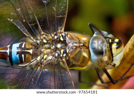 Hawker dragonfly scratching his eye