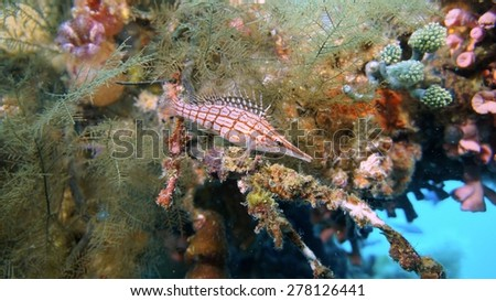 Hawkfish on a wreck in the Philippines. Underwater.