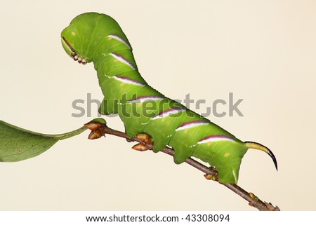 hawkmoth caterpillar (Sphinx ligustri) perch in the branch - stock photo