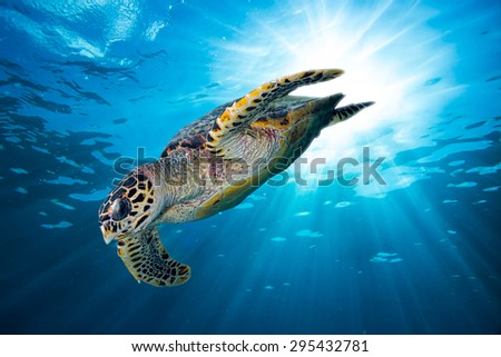 hawks bill sea turtle dive down into the deep blue ocean against the sunlight - stock photo