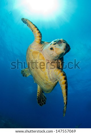Hawks-bill Sea Turtle in the Bahamas, Posing for the Camera