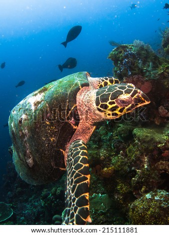 Hawksbil turtle (Eretmochelys imbricata), waiting and posing on the healthy beautiful reef of Komodo. Indonesia. - stock photo