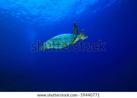 Hawksbill Sea Turtle - stock photo