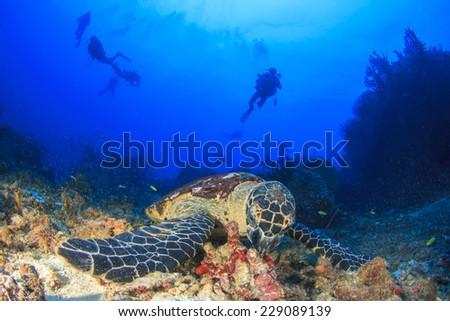 Hawksbill Sea Turtle and scuba divers - stock photo
