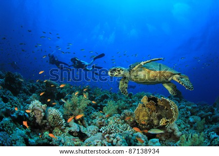 Hawksbill Sea Turtle and Scuba Divers exploring a Coral Reef - stock photo