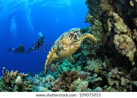 Hawksbill Sea Turtle and Scuba Divers on coral reef in ocean - stock photo