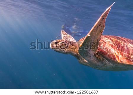 Hawksbill sea turtle at Similan national park - stock photo