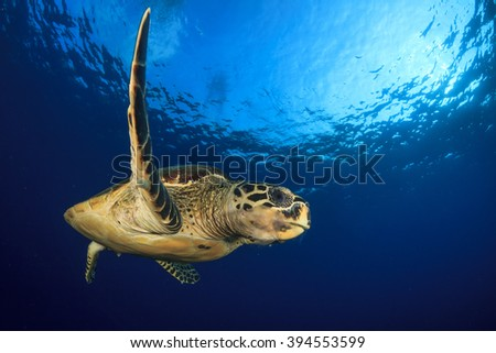Hawksbill Sea Turtle eating jellyfish - stock photo