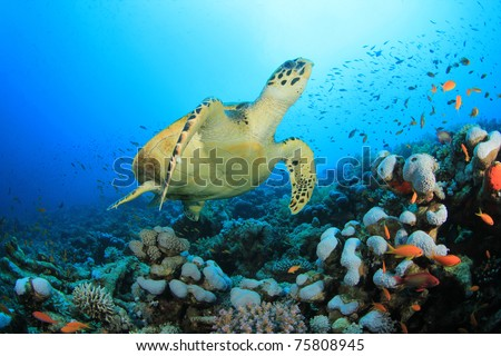 Hawksbill Sea Turtle (Eretmochelys imbricata) and coral reef with tropical fish - stock photo