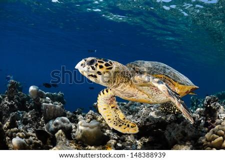 Hawksbill sea turtle (Eretmochelys imbricata) in blue lagoon of Indian Ocean - Maldives - stock photo