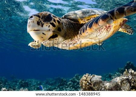 Hawksbill sea turtle (Eretmochelys imbricata) in blue lagoon of Indian Ocean - Maldives