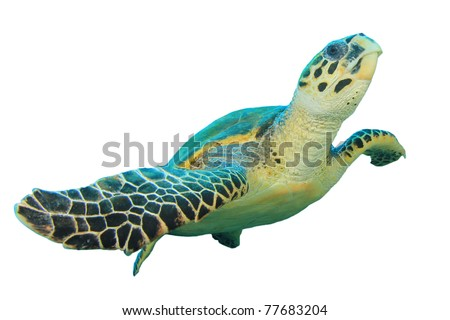 Hawksbill Sea Turtle (Eretmochelys imbricata) isolated on white background - stock photo