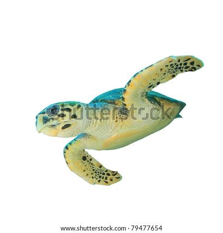 Hawksbill Sea Turtle (Eretmochelys imbricata) isolated on white background - stock photo