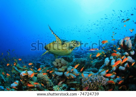 Hawksbill Sea turtle (Eretmochelys imbricata) swims over coral reef - stock photo
