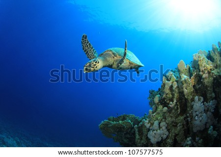 Hawksbill Sea Turtle (Eretmochelys imbricata) swims past coral reef - stock photo