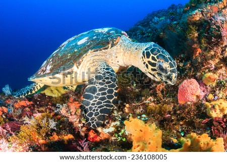 Hawksbill Sea Turtle feeding on a tropical coral reef - stock photo