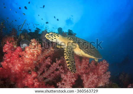 Hawksbill Sea Turtle feeds on coral while scuba diver watches it on background - stock photo