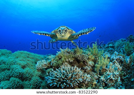 Hawksbill Sea Turtle glides over pristine coral reef - stock photo