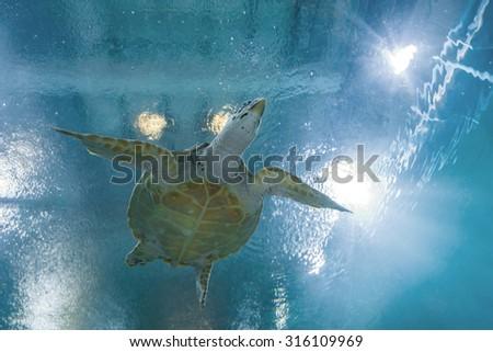 Hawksbill sea turtle in Bung Cha Wark aquarium, Suphanburi, Thailand - stock photo