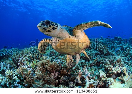 Hawksbill sea turtle in the tropical coral reef - stock photo