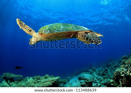 Hawksbill sea turtle in the trropical coral reef