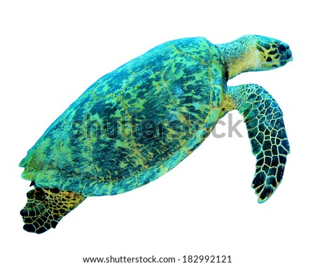 Hawksbill Sea Turtle isolated - stock photo