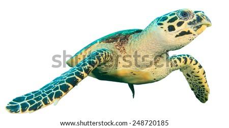 Hawksbill Sea Turtle isolated on white - stock photo