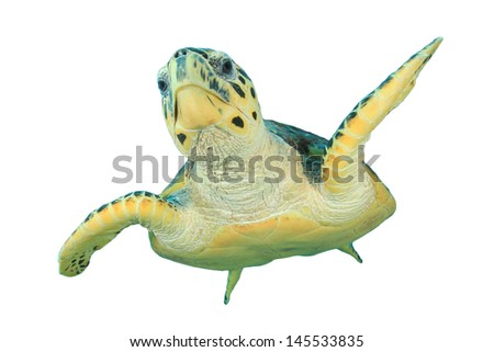 Hawksbill Sea Turtle isolated on white background - stock photo