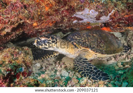 Hawksbill Sea Turtle on a coral reef - stock photo