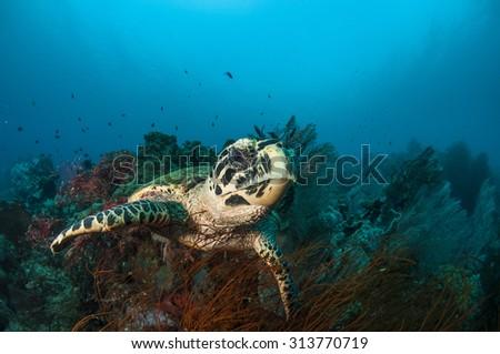 Hawksbill Sea Turtle on Beautiful Coral Reef - stock photo