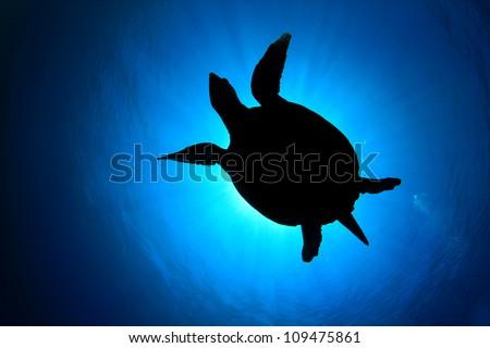 Hawksbill Sea Turtle silhouette against sun - stock photo