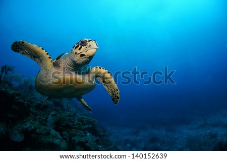 Hawksbill sea turtle swimming above the coral reef  - Riviera Maya, Mexico - stock photo