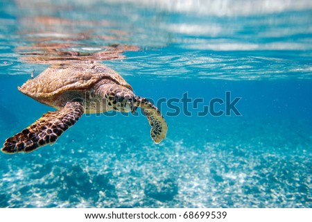 Hawksbill sea turtle swimming in Indian ocean in Seychelles - stock photo