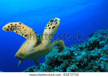 Hawksbill Sea Turtle swims over coral reef in the Red Sea, Egypt - stock photo